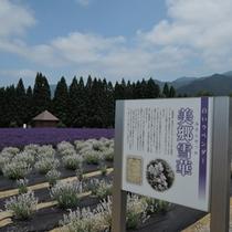 *白いラベンダー美郷雪華(みさとせっか)は、美郷町オリジナルの品種。