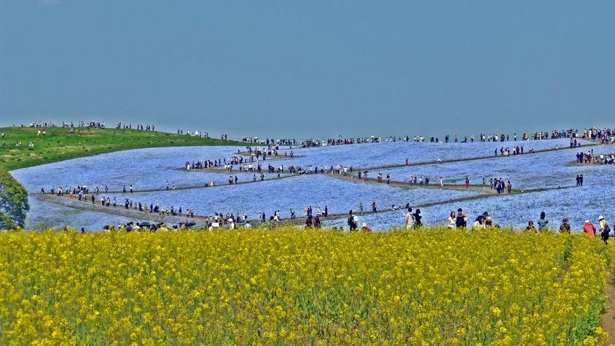 **周辺観光【国営ひたち海浜公園】当館より車で約35分。花と緑に囲まれた茨城県を代表する観光スポット