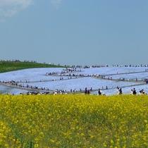*周辺観光【国営ひたち海浜公園】当館より車で約35分。花と緑に囲まれた茨城県を代表する観光スポット