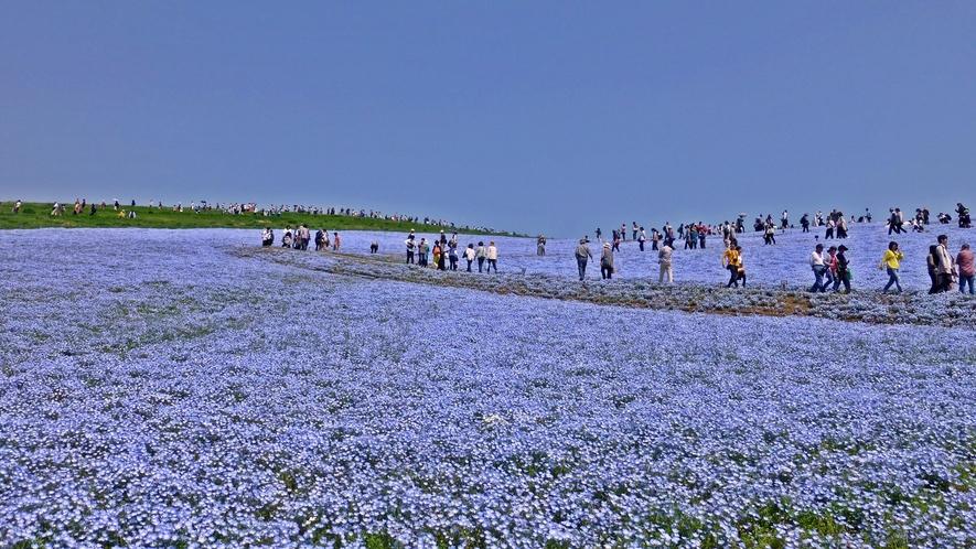 **周辺観光【国営ひたち海浜公園】春の風物詩:ネモフィラ。みはらしの丘一面に広がる絶景の青いお花畑。
