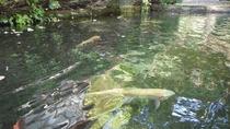 *敷地内の池で泳ぐニジマス。大型のものは60~120cmにまで成長することも!