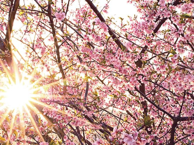 早い春を彩る河津桜。