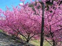 2月中旬から始まる南の桜と菜の花祭り一足早く 伊豆で春を満喫してください。