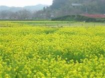 みなみの桜と菜の花まつりでは一面春色の景色に出会えます。
