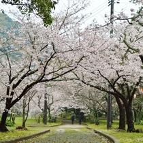 萩指月公園の桜