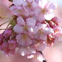 「道の駅」しーまーとに咲く河津桜