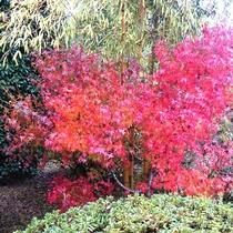*【秋/庭】真っ赤に色づく紅葉‥例年見頃11月下旬から!