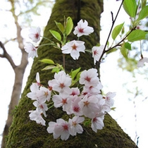春には、掬水入り口付近でも桜がご鑑賞いただけます。