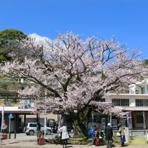 湯河原駅前の桜