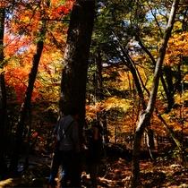 *紅葉/例年見頃10月下旬 カラマツ、モミジ、ナラ、シラカバの美しい紅葉をお楽しみください。