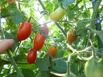 太陽を浴びた真っ赤なトマトのアイコ