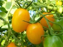 真っ黄色に熟したイエローアイコ(トマト)
