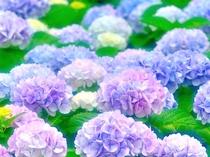 色彩豊かに咲く紫陽花(イメージ)