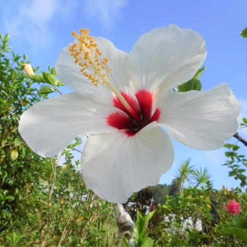 【お庭】南国の花ハイビスカス♪
