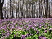 【ブナ林】4月下旬から5月上旬にかけて咲くカタクリ