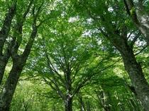 【ブナ林】芽吹きは5月10日頃。若葉は透き通るようなライトグリーンです。