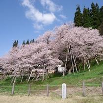 【臥龍桜】