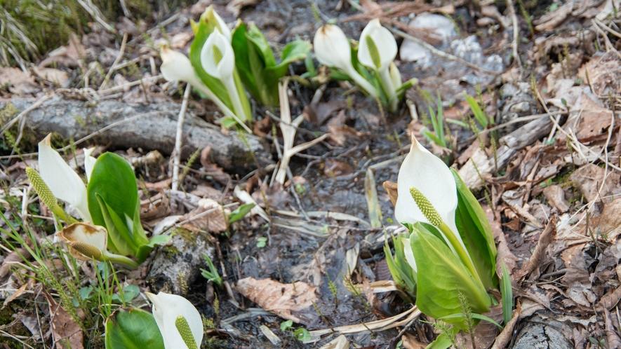 *水芭蕉の森/尾瀬の妖精水芭蕉が群生している森。咲き始めの春季はライトアップも