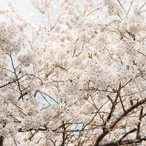 *桜/当館を取り囲むように、見事な桜が咲き誇ります。