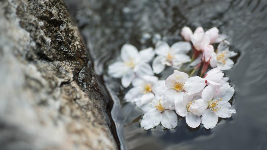 *露天風呂/春は花見露天がとても美しいです。はらはら舞う花弁を見ながら温泉を愉しんで