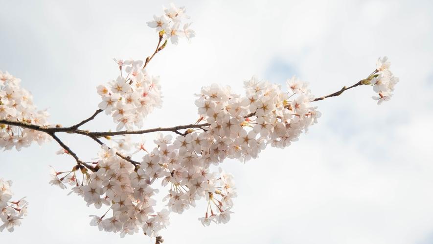 *桜/当館から車で約20分の天王桜も有名な桜スポットの一つです