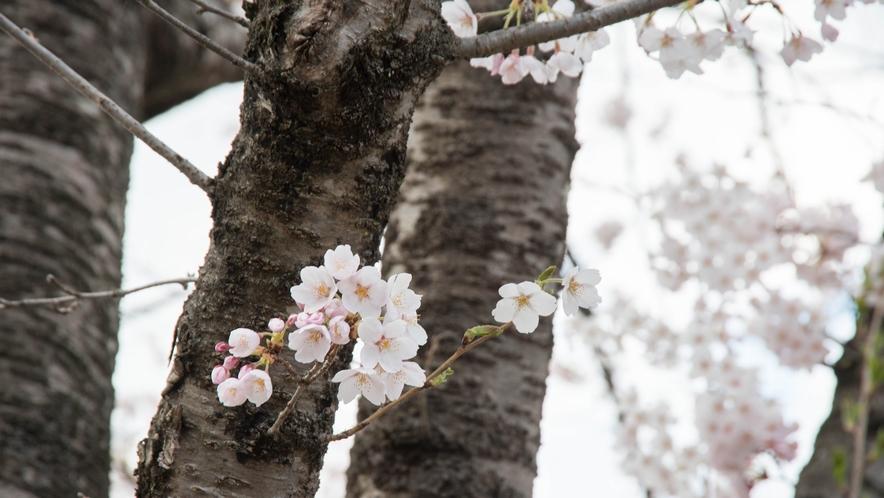 *桜/当館を取り囲むように、見事な桜が咲き誇ります