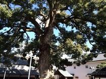金陵の里 大楠の木