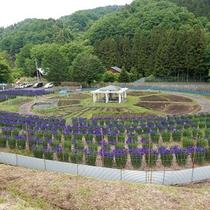 *クラインガルテン(貸農園)/5月は菖蒲が見頃になり、敷地内に約8,000本もの菖蒲が咲き誇ります。