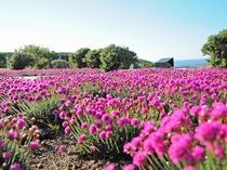 【稚内公園】6月~7月には公園内にたくさんのアルメリアが開花します。