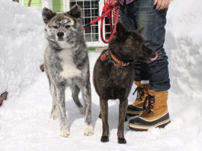秋田犬と甲斐犬