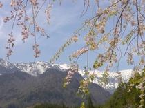 桜はGW前後。桜と新穂高。
