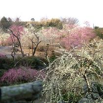 *しだれ梅/龍尾神社の庭園に咲き誇る約300本のしだれ梅(当館より車で約10分)