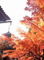 見事な京都の紅葉!真如堂にて Gorgeous autumn leaves in Shinnyodo