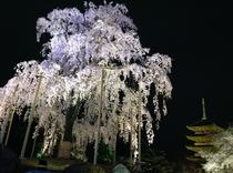 一番のお薦め東寺の桜!五重塔と魅惑のコラボ!