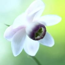 御岳山の富士峰園地北側斜面に数万本のレンゲショウマが可憐に咲きます。