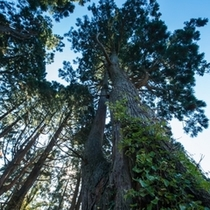 幻想の森/神秘的な空間が広がり、一帯に広がる巨木の雄大さはまさに幻想的※当館から車15分程