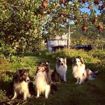 愛犬と一緒にリンゴ狩り りんご園でみんな仲良し