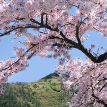 強羅公園 桜