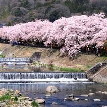 宮城野早川堤の桜(お車で10分)