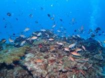 大島海峡の熱帯魚