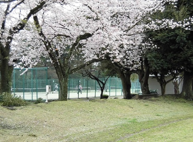 小室山総合グランドの桜