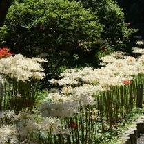 【正光寺】ホテルより車で約15分 珍しい白い彼岸花が約三千本植えられています