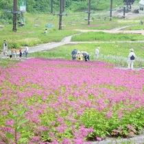 ■シモツケソウと五竜リフト(五竜高山植物園)