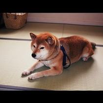 くつろぎ犬:ワンちゃんとのご宿泊も可能です