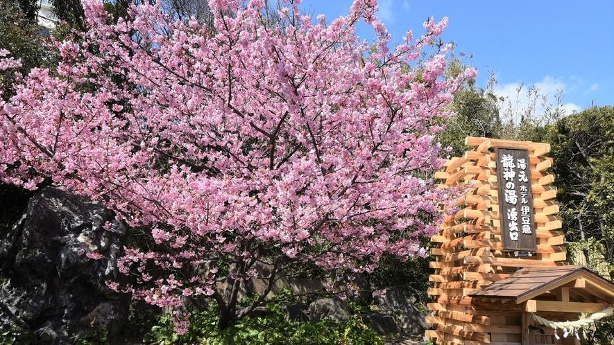 湧出口と河津桜