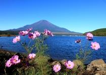 コスモスと山中湖と富士山
