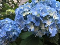 大通公園の紫陽花