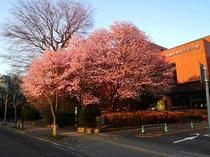 札幌市教育文化会館の桜