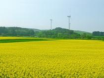 【横浜町菜の花】青森市側からいらっしゃる場合は時期により見ることができます。(見頃は4月初旬~中旬)