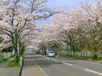 【大畑桜ロード】約1300本、6kmにわたる桜並木。春のドライブスポットです。(見頃は4月下旬頃)